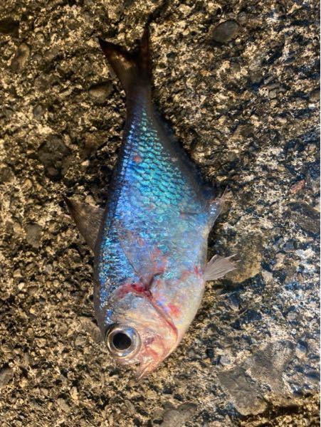 和歌山県で釣りました。 なんと言う魚ですか?食べれますか?