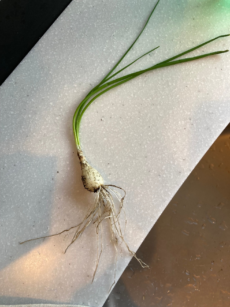 これは食べられるネギでしょうか? 引っ越して、庭に植物を植えているのですが、前の方が植えていたのかあらゆるところからこのネギのようなものがぴょこぴょこ出てきて困っています。 食べられるのならば食べてしまいますが…