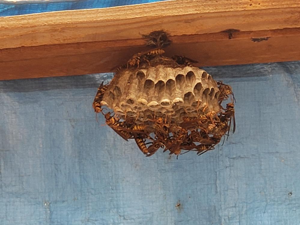 アシナガバチの巣の駆除について。 洗濯物を干そうと窓を開けてみると、アシナガバチの巣ができていました。私は蜂が大の苦手でとても脅えていたのですが、アシナガバチは調べてみると温厚なようで、近づきさえしなければ襲ってこないとありました。また、畑などの害虫を食べてくれる益虫ともありました。 しかし、この物干し部屋(?)の棒は固定されており、蜂の巣も1m以内にあるため、洗濯物をかけている時にいつ襲われるか分かりません…。 母親は蜂が嫌いという訳では無いので、全く気にしてはいません。しかし、家には猫ちゃんもおり、洗濯物を干している途中に隙を着いて外へ脱走をすることがあります。その時に襲われないかも心配です。 この巣に対して、この蜂の量だと、まだまだすが大きくなる可能性はありますか?それなら、小さいうちに駆除をしようかなと思っています…。この大きさのまま変わらないのであれば、まだ被害も出ていないので放置しようかなとも思っています。 また、蜂によく効く殺虫剤や、駆除方法についても教えて頂けたら有難いです(>人<;) ご回答お願いします!