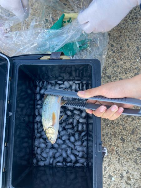 秋田の海の河口で釣れたのですが 、なんの魚か分かる方いますか?