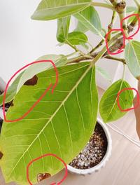 アルテシマゴムを1ヶ月ほど前に購入しました。 購入時は、植木鉢へ植え替えしてもらい、オルトランも使用してもらっています。 最近になって、いくつか気になることがあります。 ・葉に黒い斑点のようなものができています ・水やりをして土をよくみると白い小さな虫が動いているのがわかります ・枝の先があまり綺麗ではなく枯れている?腐っている?気がします ・土の中にムカデみたいな虫が1匹いて、以...