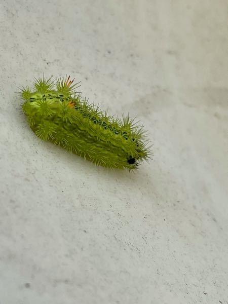 庭の紅葉の木にこの虫がたくさん。何の虫ですか?どうしたら駆除できますか?