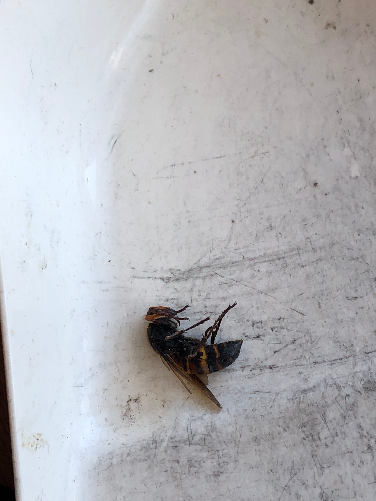 昆虫の写真アリです 先日家の中に入ってきたこの蜂の種類はなんでしょうか? また、もし近くに巣があるようだったら駆除した方がいいですかね?
