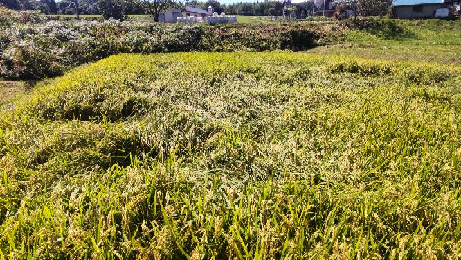 何回も申し訳ございません。 今年は稲が倒れて稲刈りしづらくなりました。 何がいけなかったでしょう。 同じ地域でも私が植えたところも私以外は倒れてません。