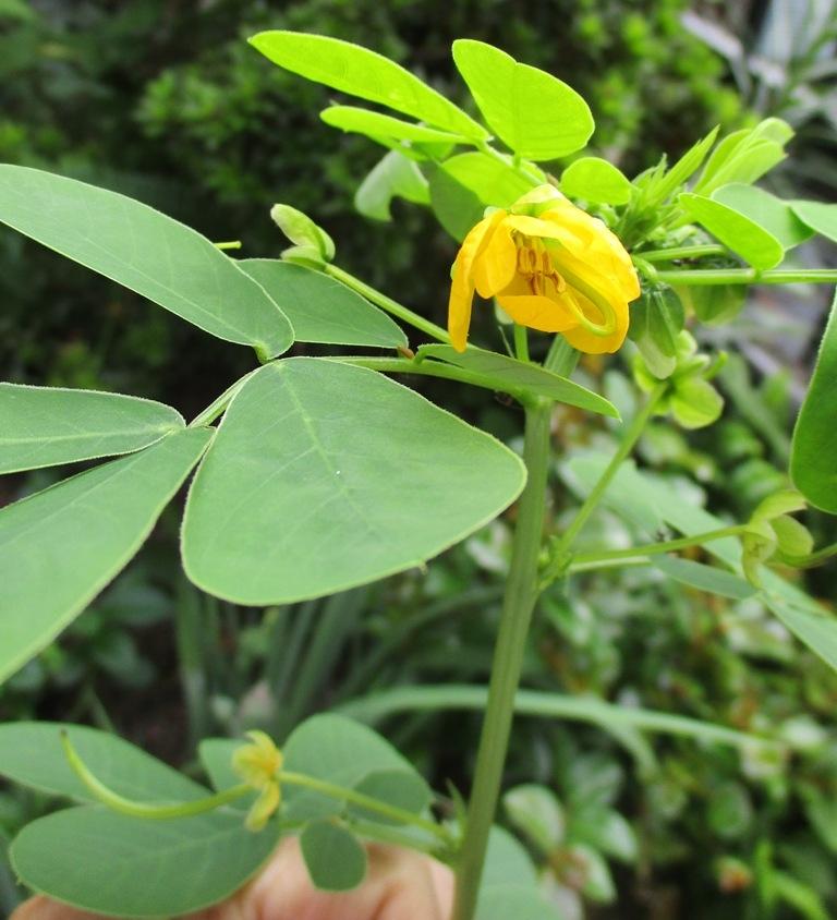 花の名前を教えて下さい。 小さな庭に、今年初めて一本だけ生えてきました。植えてはいません。写真は今日(2021.09.19)現在です。