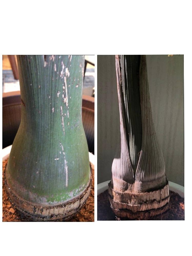 今年6月に購入したトックリヤシのトックリ部分が縮んできました。所々凹んだような形になっています。 (左側:6月、 右側:直近) 原因や対処法をご存知の方いればご教示ください。 あまり日光の入らない室内に置いておくことが多く、水やりは3週間に一度くらいでした。