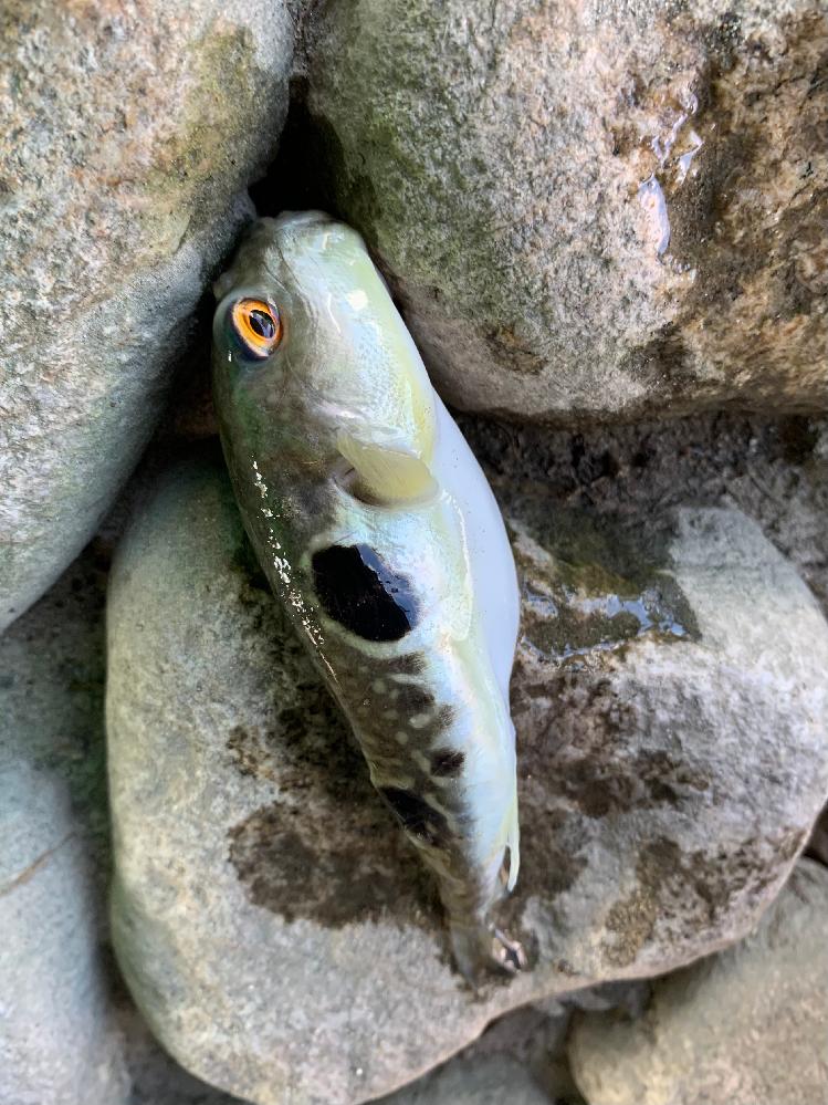 この魚ってトラフグですか?