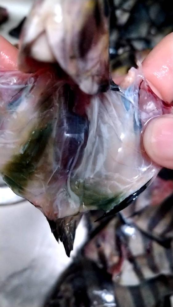 イシダイを捌いたらこうなってました。 原因はなんですか??そして、食べられますか?