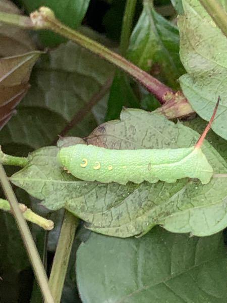 閲覧注意 このイモムシは何の虫ですか?