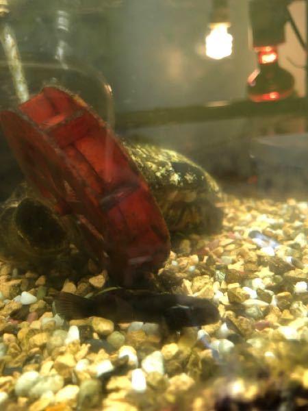 沼で捕まえた魚なんですが、これは何という魚ですか? 眉毛の所と背びれの一部が白いです。