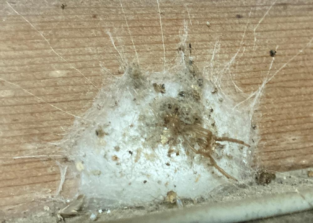家の玄関に、蜘蛛の巣らしき物があります。 綿の様な物体の中に、虫の様なモノが入っているのですが、これが何か分かる方いらっしゃったら教えて下さい。 画像をアップしますが、衝撃が強いので弱い方は見ないで下さい。