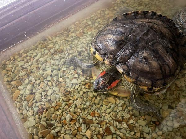 ミシシッピアカミミガメについての質問です。 13年飼っている亀が、数日前から元気がなく、今日は持ち上げても手足がだらんとしていて、目も閉じたままです。これは亡くなっているのでしょうか。。