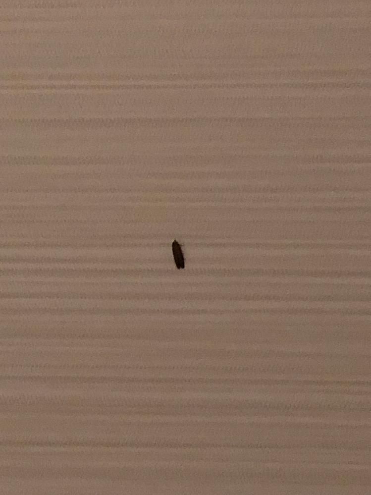 この虫の名前わかる方いますか?分かりづらい写真ですみません。 毎日部屋に1匹2匹出てきてその都度殺してるのですがどこから湧いてくるのか、服に着いてて侵入するのか、観葉植物の土から孵ってるのか、詳...