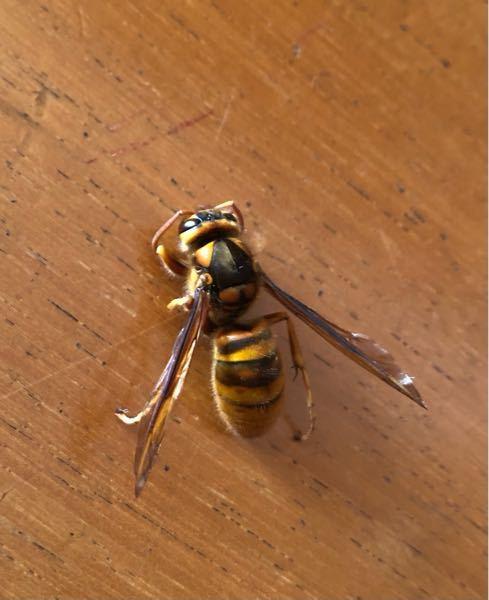この蜂はなんの種類か分かりますか? よろしくお願いします。 今朝 家の中の廊下で死んでいました。 屋根の内側に蜂が出入りしている様子なので、屋根裏に巣を作っているのかもしれないと思っています。 体長は2.5センチあります。