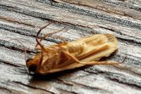 (画像ご注意)なんの虫ですか? 1cmちょいの変な虫がいました。まったく何種類沸いてくるやら…。 ゴキブリに似た形状で黄土色?だからってコオロギでもなさそうですし。 思い浮かぶ虫がいましたら教えてください!