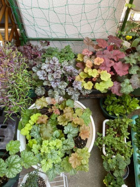 ヒューケラ はひとつのプランターに寄せ植えするよりも ひとつひとつを独立した鉢に植えた方が後々いいでしょうか。