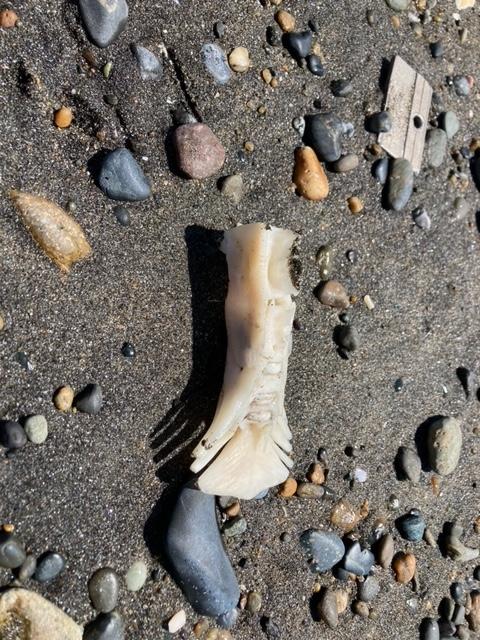 野比海岸で見つけました。 これは何の骨でしょうか?