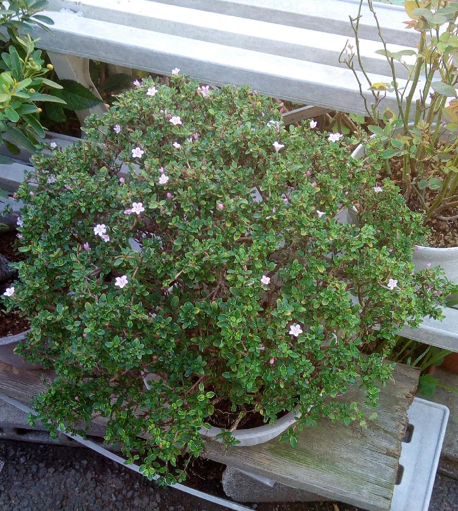 これは白丁花でしょうか?