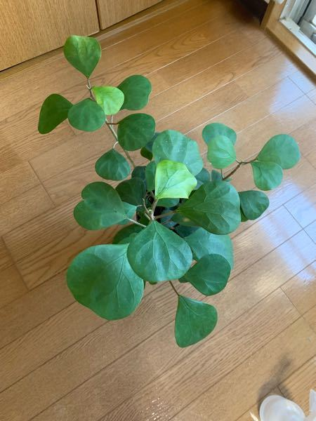 この観葉植物の名前を教えてください。 剪定方法が知りたいのですが、名前を忘れてしまい困っています。 ゴム科ということは分かるのですが、、、。