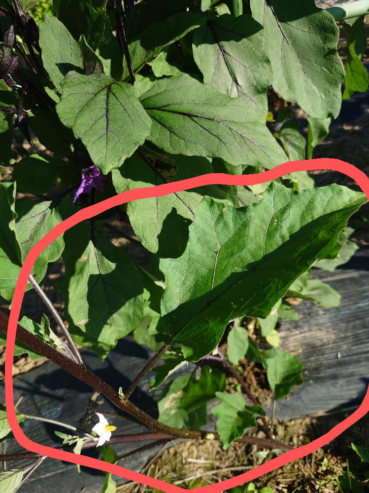 ナスと一緒に白い花のトゲのあるナスににた植物が出てきました。 調べるとイヌホウズキという植物の名前が出てきます。 ただ我が家のは葉や茎にトゲがあり、ネットにでてくるイヌホウズキの写真には写っていませんし、説明文もありません。 どなたか詳しい方教えて下さい。