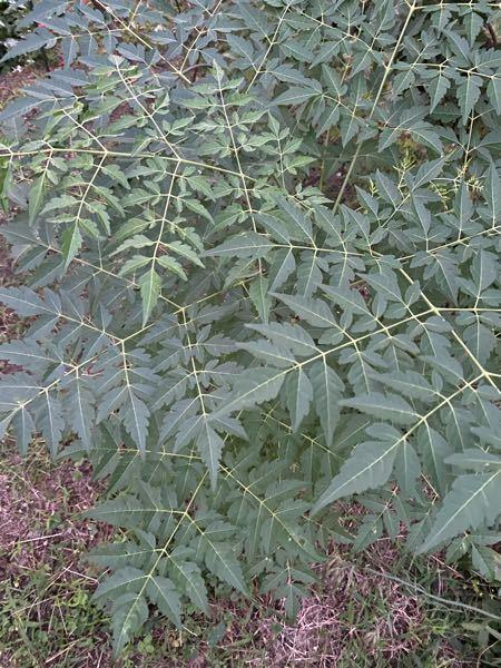 この植物何かわかりますか 一人生えして大きくなってしまいました