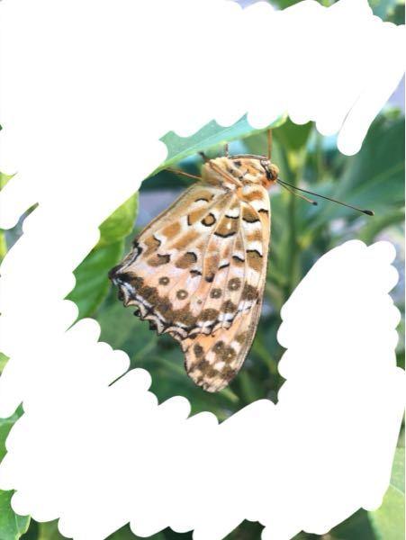 この蝶はなんという名前の蝶ですか?