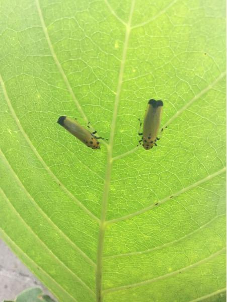 この虫は何でしょうか? 去年、大量発生しました。 葉っぱを食べているようでもなく、被害を受けているような感じはしないのですが、冬の間もチラホラ見掛けました。 今年も、少ないですがいろいろな木や植物の葉に付いて飛び回っています。 ご存知の方がいらっしゃいましたら、発生のメカニズムや習性、対処方法等教えていただきたく存じます。 よろしくお願い申し上げます。