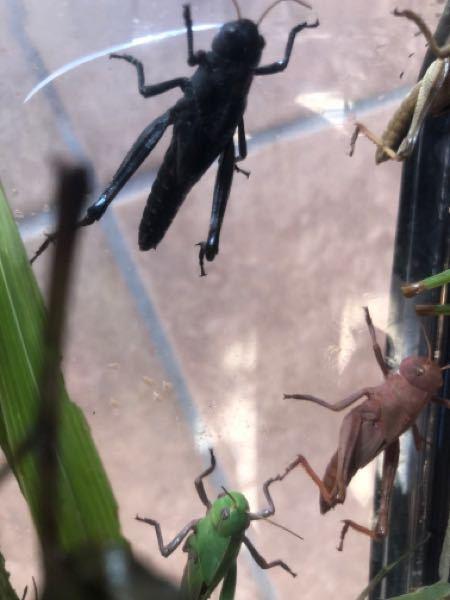 写真にある黒色のバッタと茶色のバッタの種類について以前質問したところ、トノサマバッタの幼虫ではないかと回答をいただきました! 黒色と茶色は初めて見たのですが、珍しい色なんでしょうか? レア種かどうかは以前の質問で聞こうと思ってたのですが、知恵袋の仕組みを理解しておらず、途中で回答を締め切ってしまったので再度質問です。