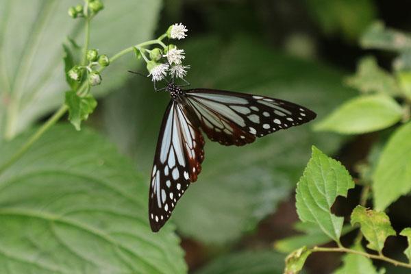 昨日、北九州市の郊外を散歩中に見た蝶と花です。蝶と花の両方を教えて下さい。 2つあります。1つ目ですが、蝶はアサギマダラでよろしいですか? 蜜を吸っている花の名前を教えて下さい