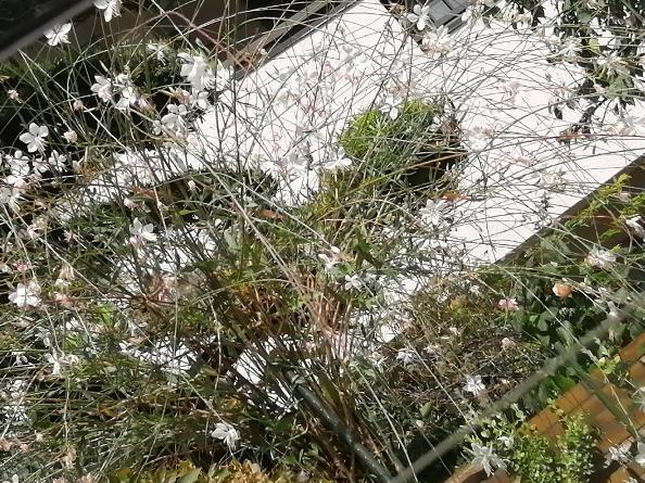 このお花は何ですか? 1メートルくらいの幹からぴょーんと 枝垂れ桜か柳のように枝のようなものが出て、先に白い花が付いてます。もうかれこれ3ヶ月くらい花が咲いてます。 知っている方教えて下さい。