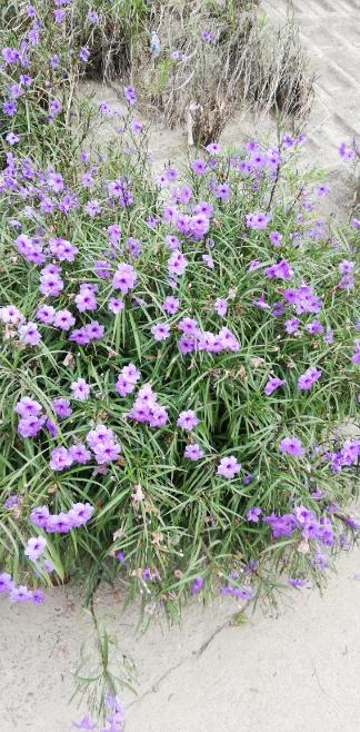 この花はなんですか? カラスノエンドウみたいな種をつけていました。