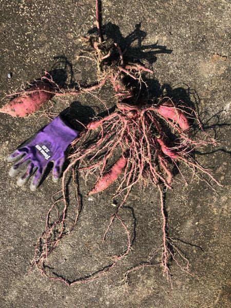 本日サツマイモの収穫をしたのですが これは何がいけなかったのでしょうか? 根と茎の間、つまり土と空気の境目辺りでイモ同士がねじり重なり合っているというか、 細い根っこが土の奥深くまで行っているので土が固いわけではないのかな??、 肥料が、多過ぎのツルボケって症状でしょうか? 詳しい方来年の為に教えて下さい。 お願いします。