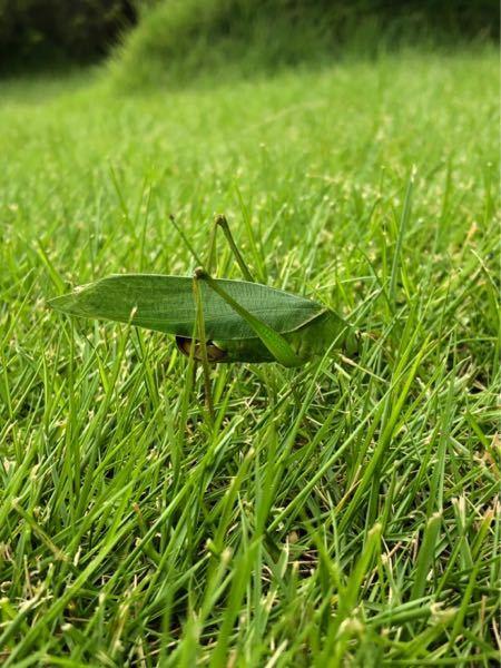 庭に居たバッタです。 葉っぱみたいに見えました。 このバッタの名前を教えてくださいm(._.)m