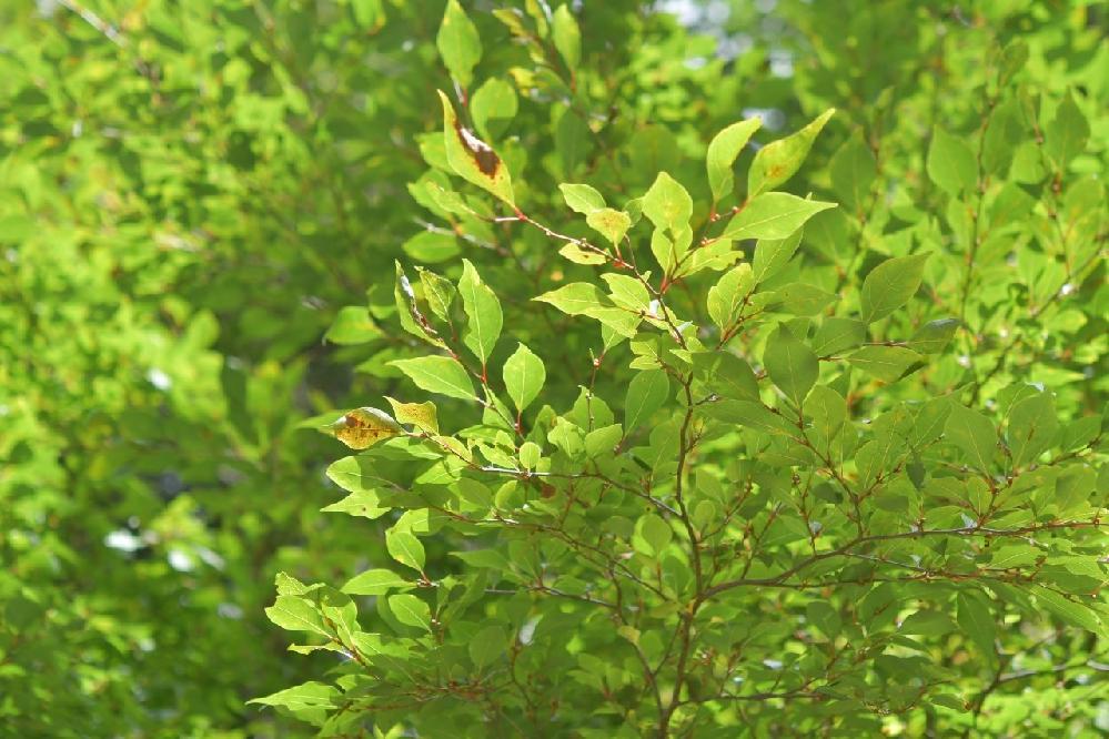 この葉の樹木名は何でしょうか?静岡県内の標高1400m付近で撮影したものです。