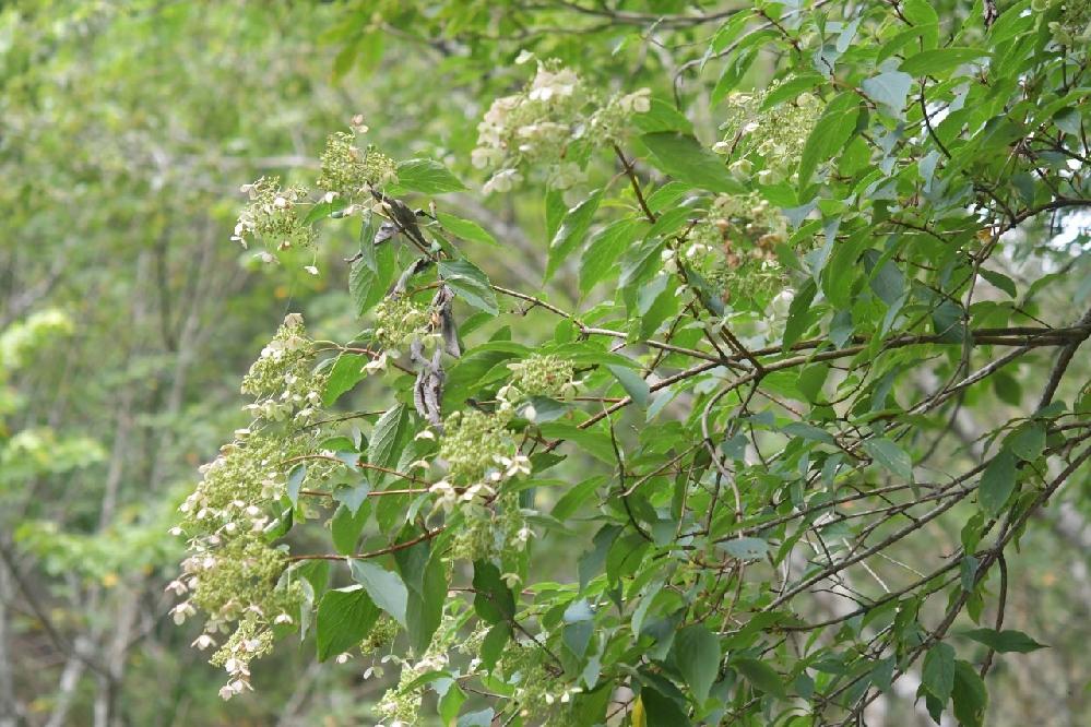 この樹木の名前は何でしょうか?昨日静岡県内の標高1400m付近で撮影したものです。