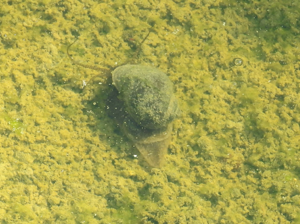 見づらいですが、田んぼの中に居るこの貝の名前教えて下さい。