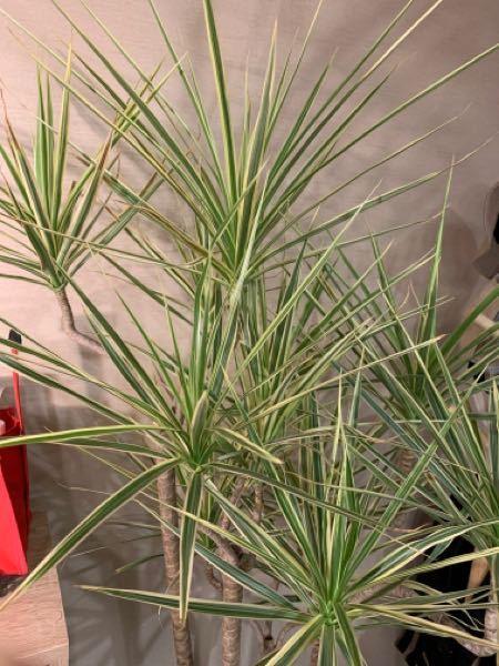 ドラセナの葉がポロポロ落ちるので、鉢の底を見ると根が出てきており、大きめの鉢に植え替えました。 写真の通りまだ生きている葉もあるのですが、こちらはまだ手遅れではないでしょうか? また来年の春になれば、新芽は出てくる見込みはありますでしょうか? 現在植え替えて1週間なんですが、すでに黄色くなっていた葉がまだポロポロと落ちます。 すでに手遅れになってしまってるのではと心配です…。 有識者の方教えていただければ幸いです。