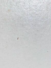 すごい小さいのですが、木の本棚にこの虫が何匹かいました。 こちら何かご存知の方いらっしゃいますでしょうか? 宜しくお願い致します。