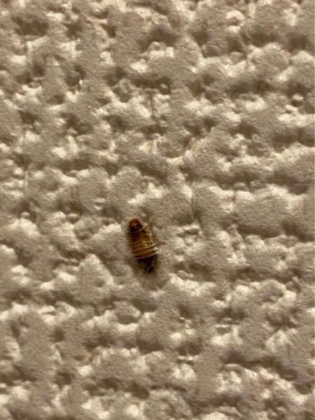 自宅の中で この虫が出ました。 大きさは5ミリ程です。 これは何という虫ですか? 詳しい方、ご回答宜しくお願いします。