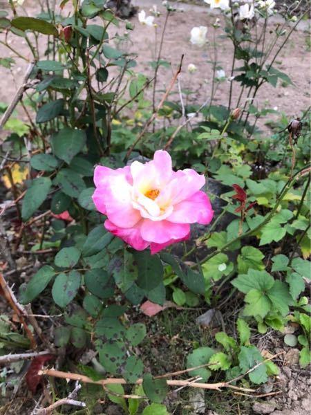 この花ってバラですか?
