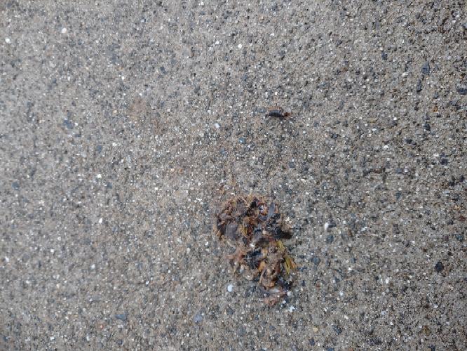 家の駐車スペースに、このような虫の死骸の塊があったのですがなんだとおもいますか?