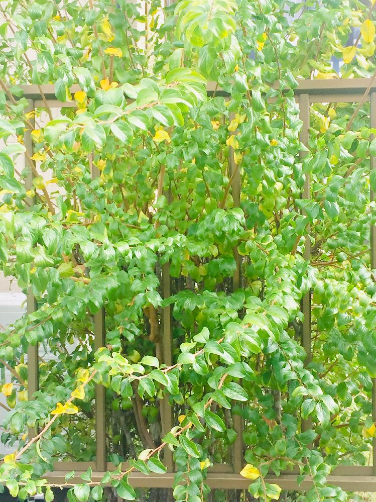 とても分かりにくい写真ですが、 この木はなんでしょうか? 葉が軽くカールしており、 根元から箒状に細い枝を出しています。 お花が咲いてるのはあまり見たことがないと思います。