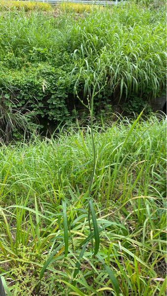 この草の名前教えてください