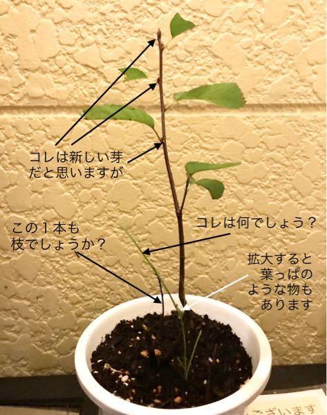 ジューンベリー リージェントについて質問です。 苗木を購入しましたが、安かったので小さくて25cmくらいです。 新しい芽のような物もあり小さくても良いのですが、細い木の根元の近くから綺麗な若い緑色の真っ直ぐな枝っぽい物が生えてきています。 コレが雑草の類いなのか、リージェントは株立ちとのことなのでリージェントの枝なのか分からないのです。 このまま生やしていて良い物か、どなたか分かる方いらっしゃいますでしょうか? よろしくお願いします。