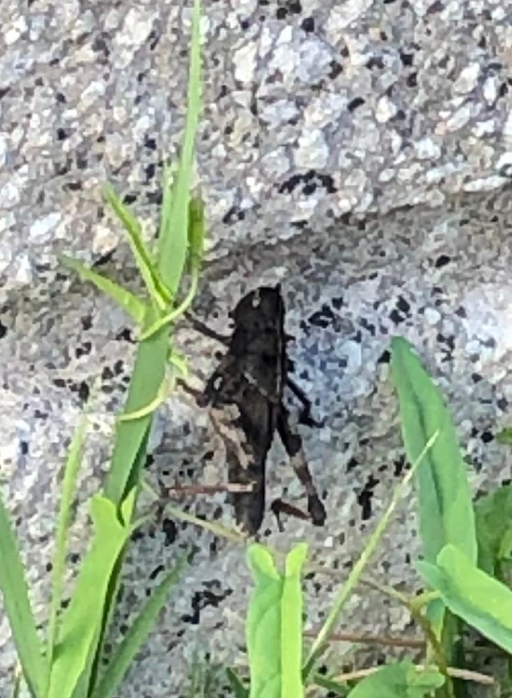 昆虫に詳しい方、教えてください。 今日公園にいたところバッタのような黒い昆虫を見つけました。 これはなんという名前のバッタでしょうか? 体長は5cmくらいでした。