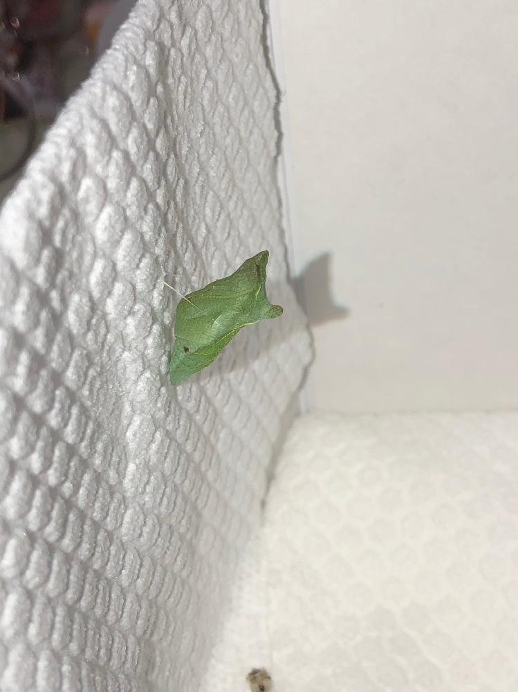 ナミアゲハの終齢幼虫がいつのまにか玄関扉に来訪。(9月19日) 庭の山椒から歩いてきて蛹化の場所に決めたもよう!(お願いですから、ドアはやめてください!) あわてて保護し、家の中で無事蛹化出来たのですが、(9月20日) よく見たらお腹の脇に黒い点が!(9月21日) お外で育った子ですから、可哀想ですが寄生の線が濃厚でしょうか? また、けっこう鮮やかな緑色です。 時期的に越冬蛹の可能性が大きいでしょうか?(神奈川県です) 寄生じゃなくてただのシミだったらいいんですが・・・