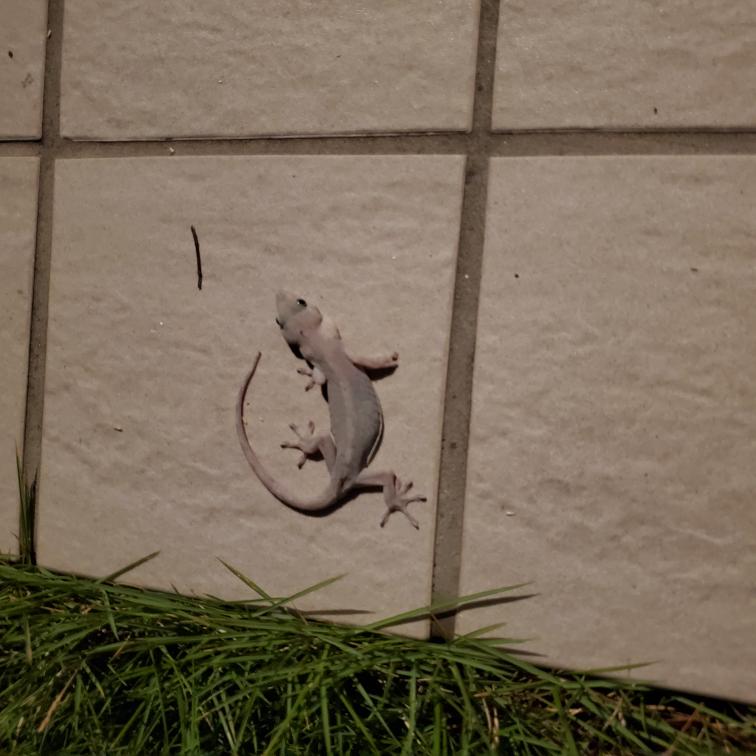 これはヤモリですか? 夜になると庭のテラスにほぼ毎日 現れます。 よく見るトカゲとは少し違う気がするのですが これはヤモリでしょうか?