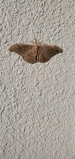 この蛾の名前を教えてください!
