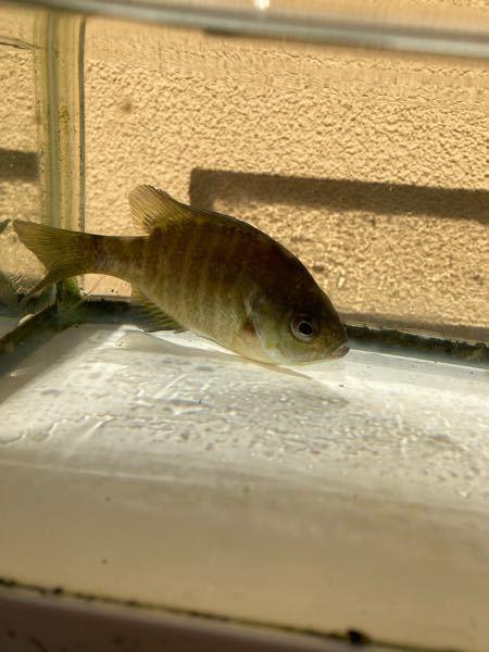 この魚分かりますか?メダカの水槽から出てきました