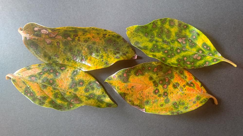 柿の栽培でお尋ねします。 自宅庭(関東地方)に樹齢20年くらいの次郎柿を植えています。隔年結果で今年は成り年と楽しみにしていたのですが、9月になってから落葉が進み実がまだ完熟していないのに葉と実の8割が落ちました。 葉には添付のような斑点がついています(写真は黒色背景のため明る目)。落葉していない葉も同様に斑点だらけです。昨年も葉には斑点がありましたが、不成り年と思い気に留めませんでした。調べたら葉の病気のように思えるので質問します。もし病気なら対応のポイントも教えてください。